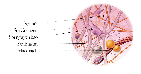Collagen và Vai trò của Collagen đối với cơ thể