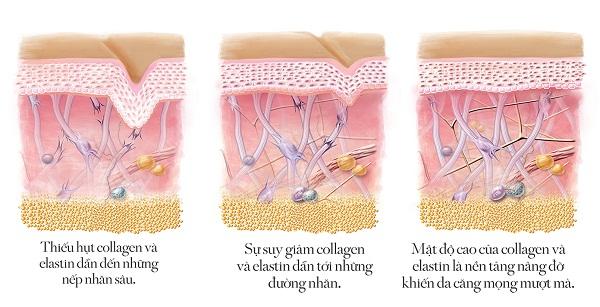 Collagen và Vai trò của Collagen đối với da